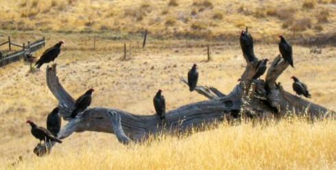 turkey-vultures_nick_todd